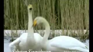Schwan Swan Singschwan Tiere Animals Natur SelMcKenzie Selzer-McKenzie