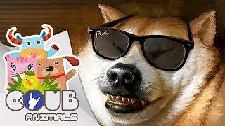 Смешные видео про животных #5 | COUB | Приколы с животными