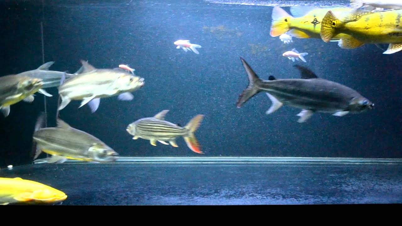 African tiger fish youtube for Tiger striped fish