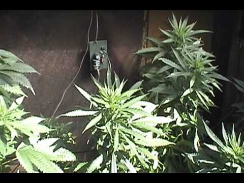 Cannabis Flowering Outside In Winter Update2 7 11 Youtube