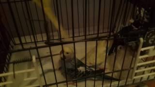 muhabbet kuşu yeni kuşlarım inanılmaz renkler;)
