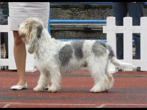 Grand Basset Griffon Vendeen / Dog Breed