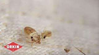 Orkin Bed Bug FAQs
