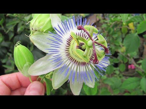 Редкий цветок пассифлора в домашних условиях и в зимнем саду