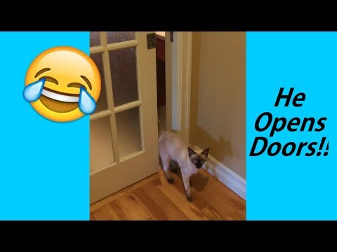 Siamese cat opens door