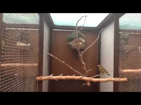 Breeding Greenfinches - YouTube