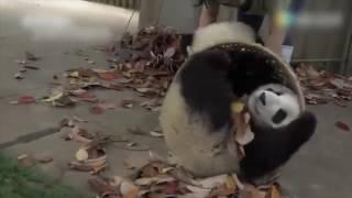 Приколы Панды играют с ведром, набитым листьями, животные