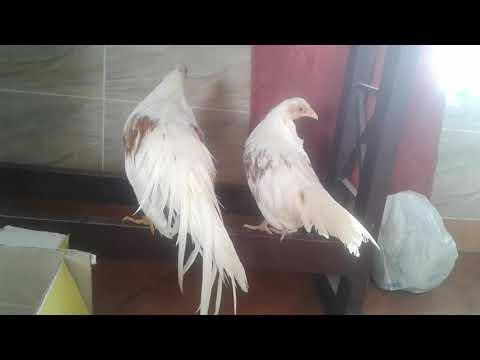 A&r Pet's Kerala Fancy Hens Yokohama 9656441308
