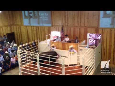 Black Angus Cattle Auction