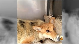 Increase In Coyote Sightings Has Chappaqua Residents On Edge