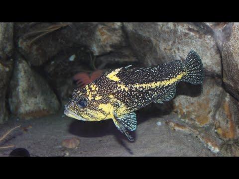 Telequarium:  Rockfish!