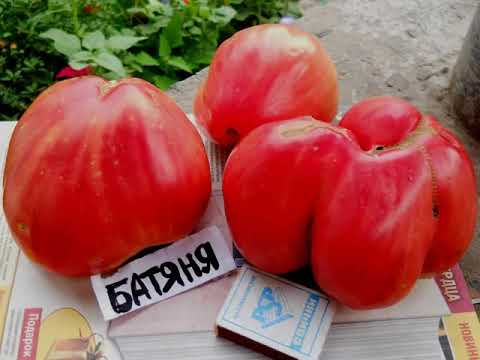 Сорт помидор Батяня/ Характеристика и описание сорта | характеристика | огороднику | открытом | томатом | теплице | помидор | дачнику | томата | советы | грунте