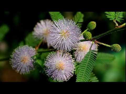 Вопрос: Мимоза стыдливая из семян вообще реально вырастить?
