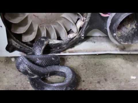 Rat Snake stuck and accidentally killed in Dryer