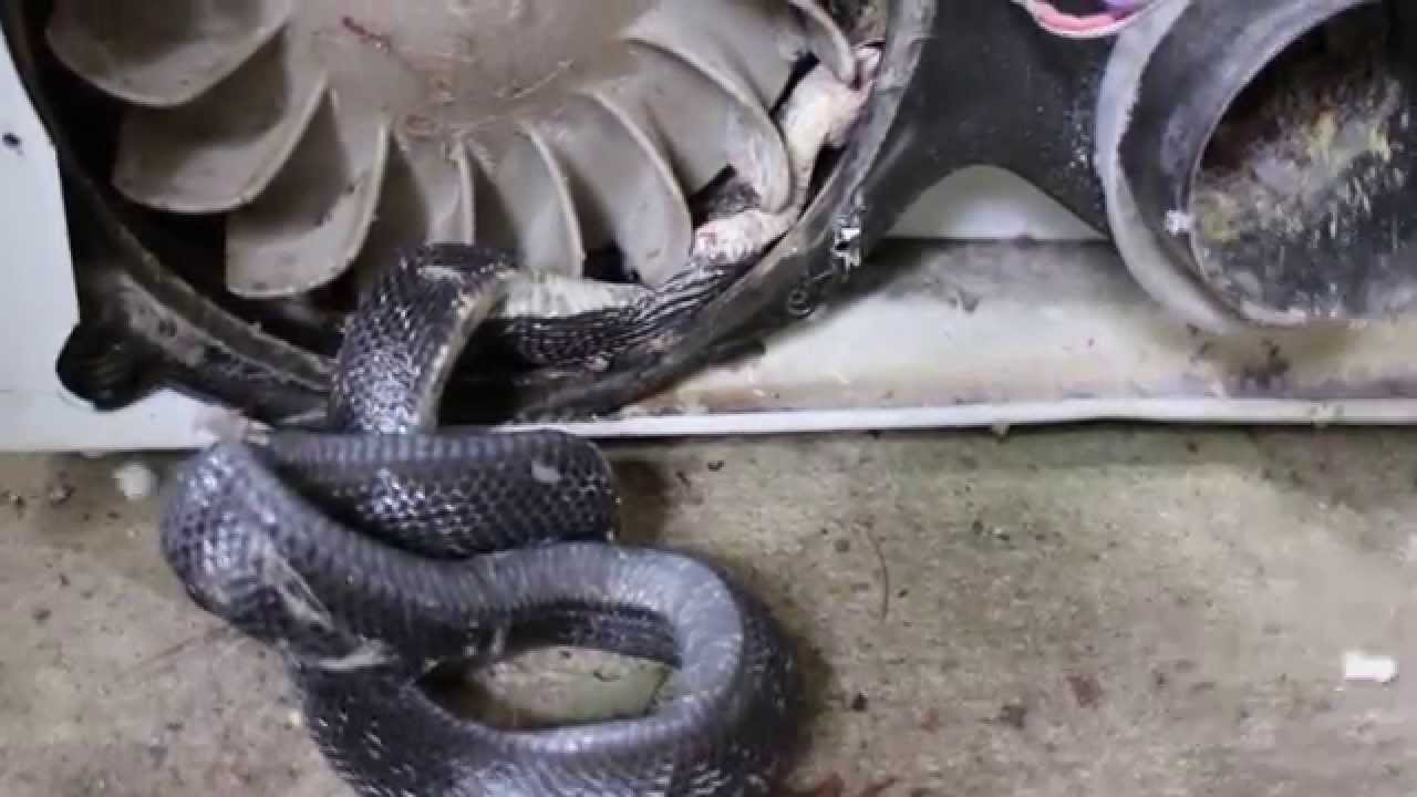 Rat Snake Stuck And Accidentally Killed In Dryer Youtube