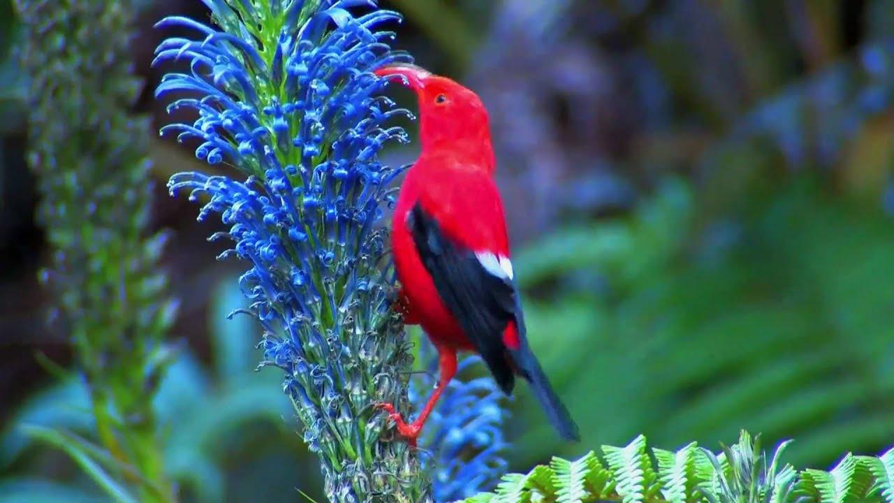 Hawaiian Iiwi Bird Youtube