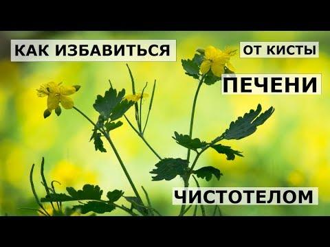 Чистотел — лечение настойкой чистотела, полезные свойства