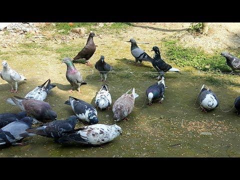 Simple & Easy Bird Trap - Catch Pigeon Using Simple Yarn Trick
