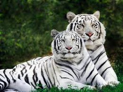 Baby white tiger pictures 70 best Matt Dallas images on Pinterest Matt dallas, Cute guys and