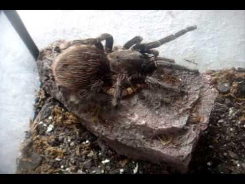 Tarantula Feeding Video 105 - Long Overdue One is Here - 70 Ts