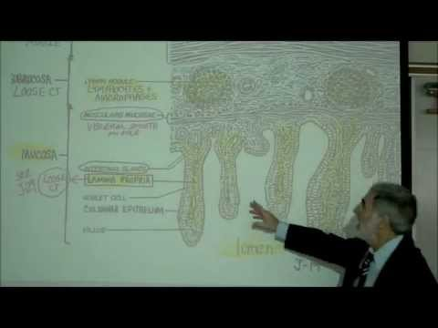 DIGESTIVE SYSTEM; PART 4; INTESTINE & DIGESTION by Professor Fink