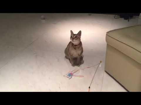 シンガプーラのラムちゃんとの遊び Play with Singapura cat