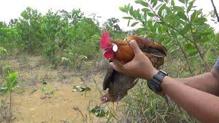 Cara menjerat ayam hutan tanpa menggunakan ayam pikat
