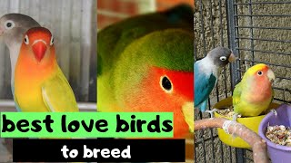 which lovebirds are best for breeding