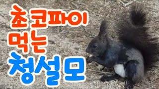 #초코파이 먹는 털갈이 중인 청설모 풀영상? A ful…