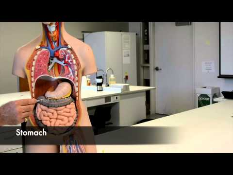 An Overview of the Digestive System