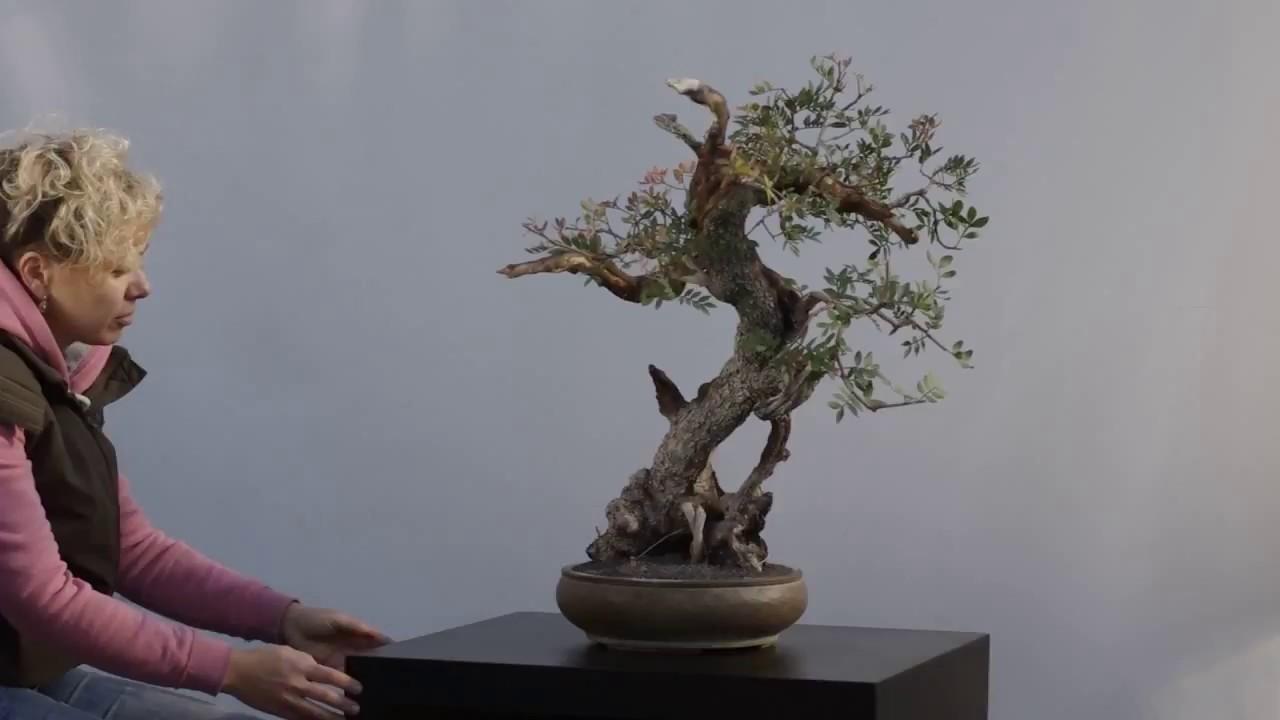 280 Pistacia Lentiscus Anima Bonsai Studio Youtube