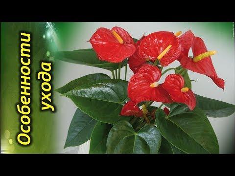 АНТУРИУМ, «мужское счастье» или «цветок фламинго». Особенности ухода.