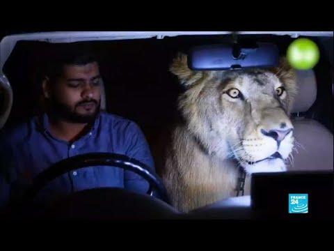 Pakistan : Domestiquer les tigres et les lions, la dernière tendance