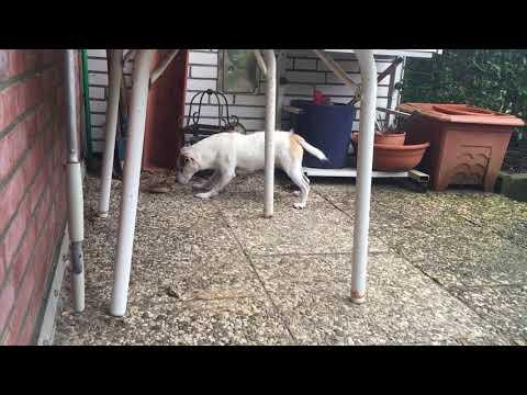 Jack Russel Terrier fights vs. dangerous Sunflower