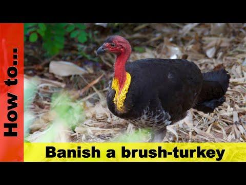 How to banish a brush-turkey