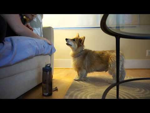Corgi has debate with owner concerning playtime