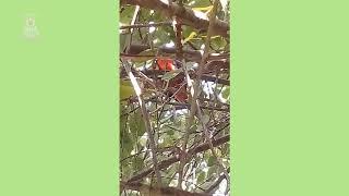 Попугай в наших лесах)