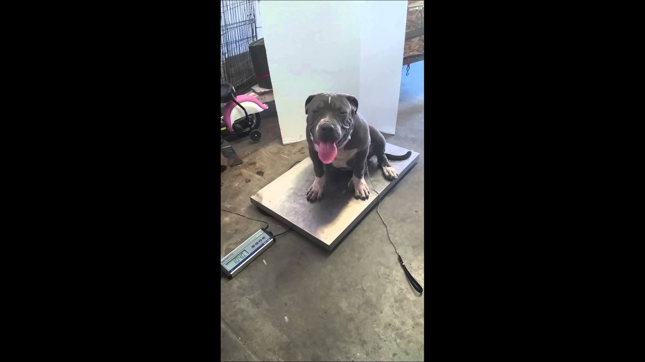 American Bully XL pup 6 months old 106 pounds