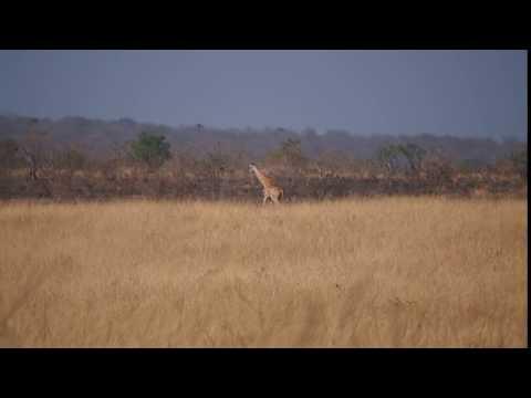 P1271383   Rennende giraffe Murchison Falls NP