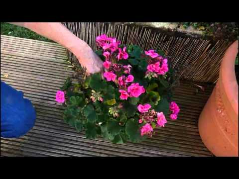 How to keep your geraniums through the winter .