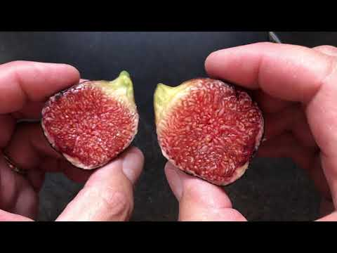 french fig farm: Ronde de Bordeaux