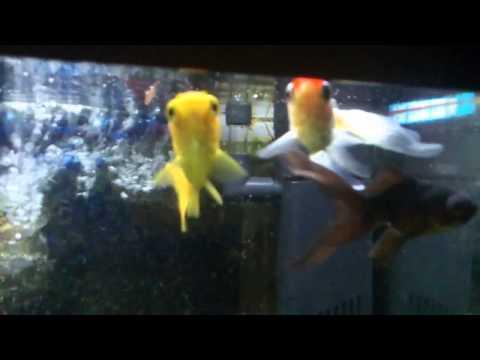 Qu peces meto en mi primer acuario de agua dulce a for Peces de acuario agua dulce fria