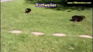 Rottweiler, Puppies, For, Sale, In, Des Moines, Iowa, Ia, Bettendorf, Marion, Cedar Falls, Urbandale