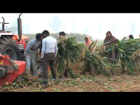 Feed for farm animals by chopping maize crop with chopper