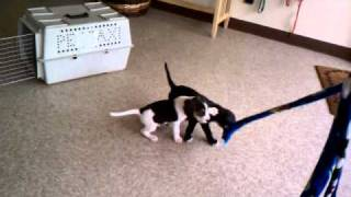 Four Beagle / Boxer Mix Puppies From Secondhand Hounds