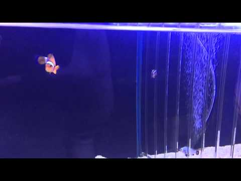 Why Do Clownfish Swim Up And Down In One Spot?