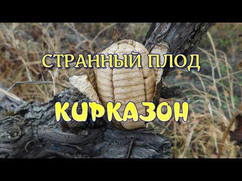 СТРАННЫЙ ПЛОД . КИРКАЗОН .