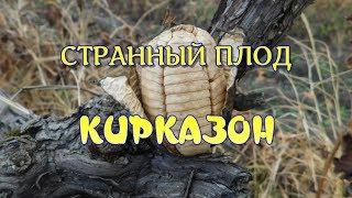 видео Акебия: виды с фото, особенности ухода, размножения, использования