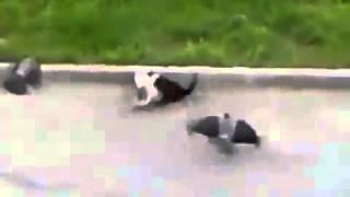Коты дерутся   вороны помогают