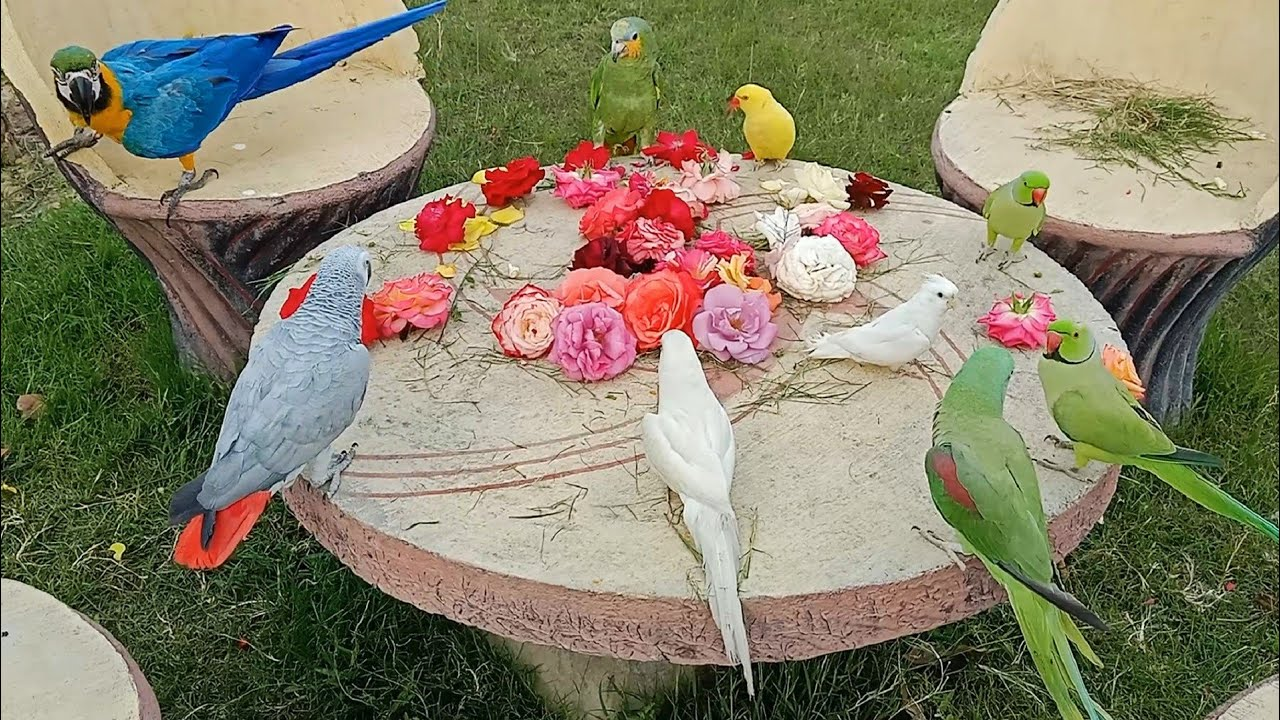 Parrots Playing with Roses